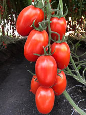 Bayer Launches Large-scale Pre-launch Trial of New Tomato Varieties with Resistance to Tomato Brown Rugose Fruit Virus (ToBRFV)